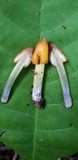 Hygrocybe persistens image