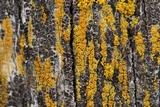 Caloplaca californica image