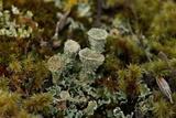 Cladonia borealis image