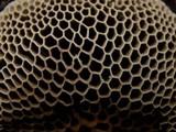 Hexagonia apiaria image