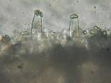 Inocybe amblyospora image