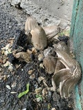 Coprinopsis romagnesiana image