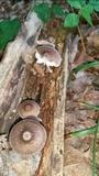 Pluteus granularis image