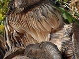 Russula densifolia image