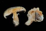 Agaricus crocodilinus image