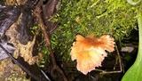 Climacodon roseomaculatus image
