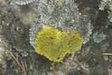 Xanthoria ulophyllodes image
