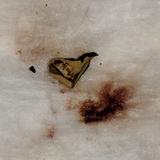 Ionomidotis fulvotingens image