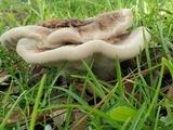 Laetiporus persicinus image