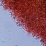 Psilocybe crobula image
