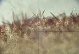 Marasmius cohaerens image