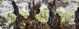 Pyrrhospora quernea image