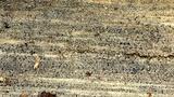 Orbilia leucostigma image