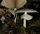Agaricus endoxanthus image