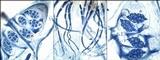 Leptogium cochleatum image
