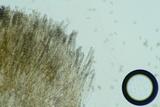 Peziza phyllogena image