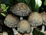 Coprinopsis variegata image