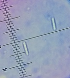 Mitrula elegans image
