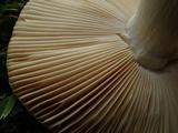 Russula flava image