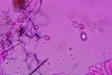 Helvella cupuliformis image