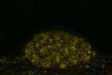 Merismodes fasciculata image