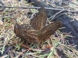 Morchella eximia image