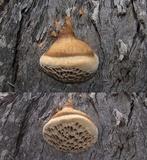 Hexagonia vesparia image