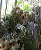 Mycena borealis image