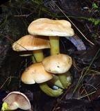 Cortinarius memoria-annae image