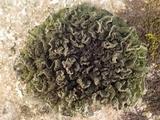Leptogium brebissonii image