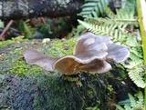 Pleurotus australis image