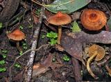 Image of Cortinarius mastoideus