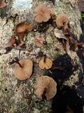 Panus tephroleucus image