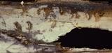 Xenasma praeteritum image