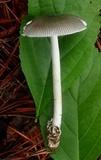 Amanita sect. Vaginatae image