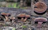 Lentinus fasciatus image