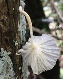 Marasmiellus volvatus image