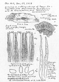 Gloeocystidiellum luridum image
