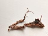 Cordyceps stylophora image