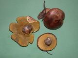 Suillus quiescens image