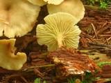 Pseudoarmillariella ectypoides image