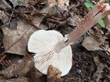Amanita amerirubescens image