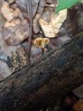 Polyporus guianensis image
