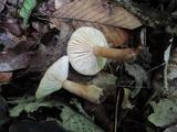 Lactarius frustratus image