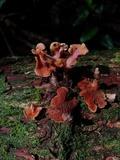Pyrrhoglossum lilaceipes image