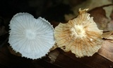 Heliomyces decolorans image