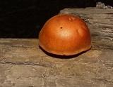 Gymnopilus liquiritiae image