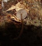 Gymnopus biformis image