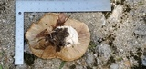 Macrocybe titans image