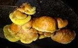 Pseudomerulius curtisii image
